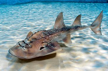 Requin raie.jpg