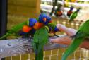 Le zoo de Martinique, les perroquets très sociables
